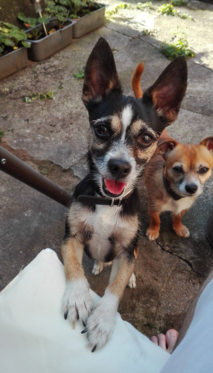 Chihuahuas photo for painting kit